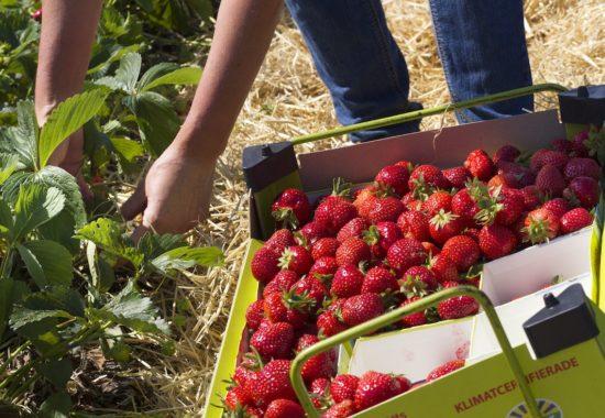 Välj jordgubbe efter smak - hitta din egen favorit!