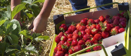 Välj jordgubbe efter smak – hitta din egen favorit!