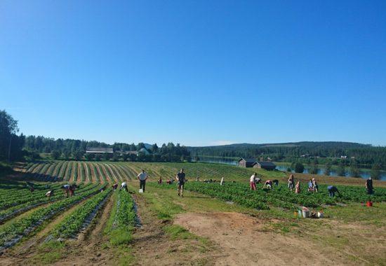 Här odlar Holger jordgubbar vid polcirkeln