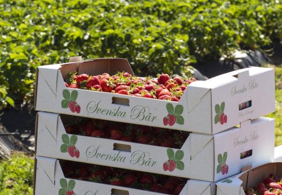 Svenska jordgubbar redan till nationaldagen